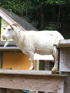 フェンスの横に立ってを羊のグループの写真・画像素材[1130965]
