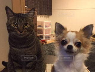 仲良し 犬 猫 あいさつ チワワの写真・画像素材[659834]