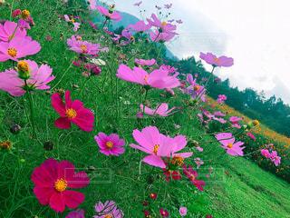 コスモス畑。の写真・画像素材[2159014]
