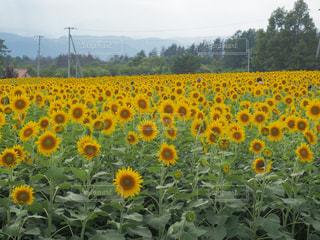 ひまわり畑の写真・画像素材[674756]