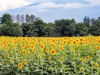ひまわり畑の写真・画像素材[674757]
