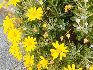 黄色の花🌼の写真・画像素材[933123]