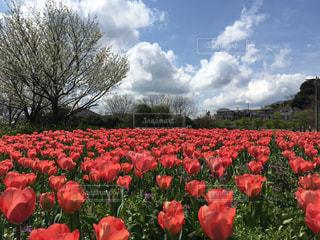 フィールドに赤い花の写真・画像素材[1226999]
