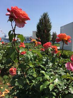 赤い花の写真・画像素材[1227001]