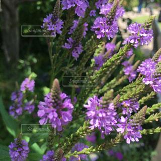 近くに紫の花のアップの写真・画像素材[1234556]
