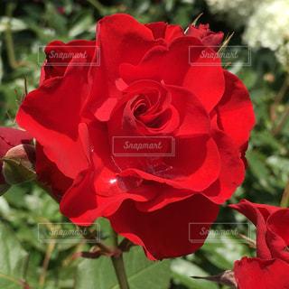 イングリッシュガーデンの薔薇🌹のアップの写真・画像素材[1234559]