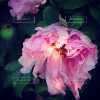 花の写真・画像素材[662747]