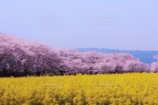 菜の花と桜の写真・画像素材[1128797]