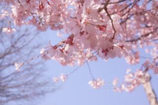 桜 - No.663576