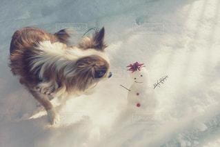 茶色と白犬の写真・画像素材[918035]
