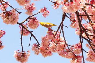 木にピンクの花のグループ - No.922194