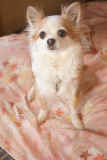 茶色と白の小型犬 - No.922668