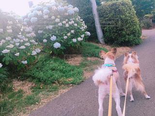 ひもにつないで犬の写真・画像素材[932917]