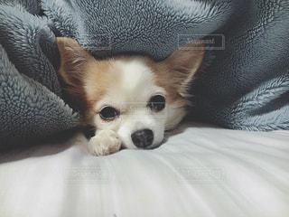 ベッドの上に横たわる犬の写真・画像素材[1004940]