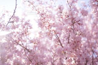 ピンクの花の木の写真・画像素材[1004965]