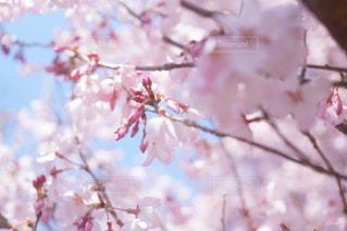 ピンクの花の木の写真・画像素材[1004973]