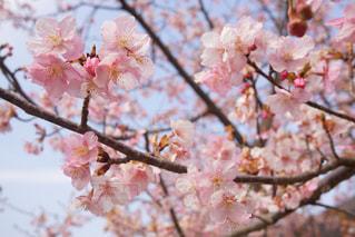 木の枝にピンク色の花のグループの写真・画像素材[1024960]