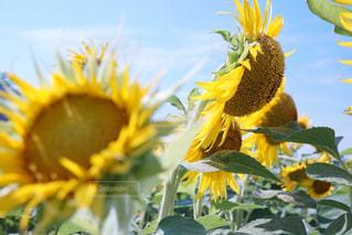黄色の花の写真・画像素材[1170678]