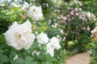 近くの花のアップの写真・画像素材[1189838]