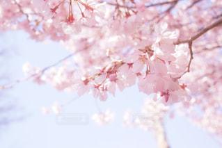 ピンクの花の木の写真・画像素材[1726180]
