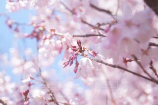 木の枝にピンク色の花のグループの写真・画像素材[1726182]