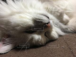 ネコ 飼い猫 チンチラ 雑種 高齢ネコの写真・画像素材[663364]