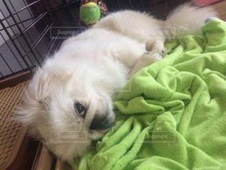 動物 可愛い 犬 ペット 癒しの写真・画像素材[663483]