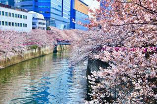 目黒川の桜の写真・画像素材[2098744]