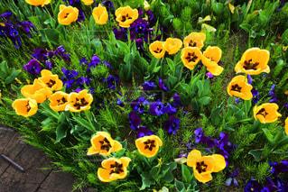 色とりどりの花のグループの写真・画像素材[2099037]