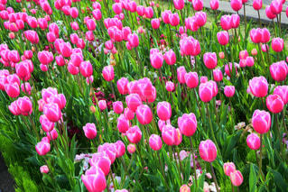 ピンクのチューリップの写真・画像素材[2099057]