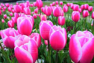 ピンクのチューリップの写真・画像素材[2099058]