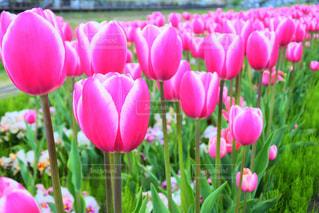 ピンクのチューリップの写真・画像素材[2099065]