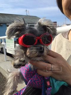サングラスをかけている犬の写真・画像素材[2104669]