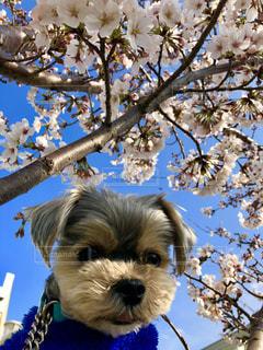 桜と犬の写真・画像素材[2105069]