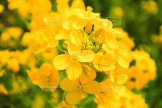 菜の花のクローズアップの写真・画像素材[2105072]