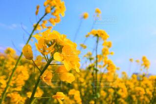 菜の花と空の写真・画像素材[2105074]