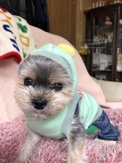 フードをかぶった犬の写真・画像素材[2105125]