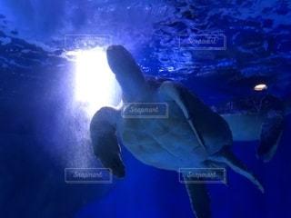 ウミガメの写真・画像素材[2105178]