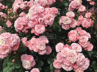 花の写真・画像素材[667836]