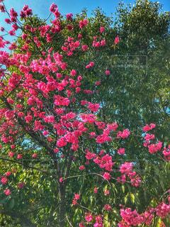 鮮やかピンク色のお花の写真・画像素材[1062279]