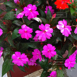 ピンクの写真・画像素材[664297]