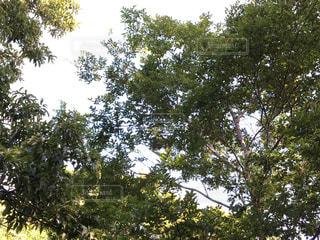 大きな木の写真・画像素材[778247]