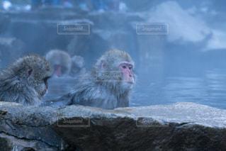 猿の写真・画像素材[668473]