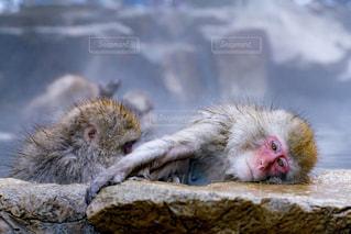猿の写真・画像素材[668475]