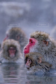 猿の写真・画像素材[668481]