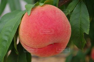 桃の写真・画像素材[762972]