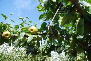 近くに果物の木からぶら下がってアップの写真・画像素材[763221]