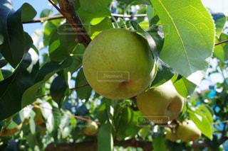 近くに果物の木からぶら下がってアップの写真・画像素材[763223]