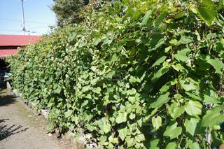 庭園の緑の植物の写真・画像素材[855305]