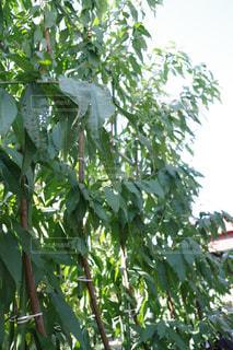 植物の木の成長の写真・画像素材[855306]